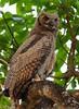 João-curutu / Great horned owl (anacm.silva) Tags: joãocurutu greathornedowl owl coruja ave bird wild wildlife nature natureza naturaleza birds aves pantanal brazil brasil bubovirginianus coth5