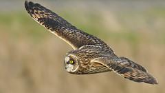 Shortie Bomber (photosauraus rex) Tags: owl shortearedowl shortie bird asioflammeus