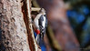 Buntspecht (Oerliuschi) Tags: buntspecht natur birds baumstamm coccothraustescoccothraustes nahaufnahme