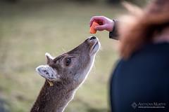 Phoenix Park deer (mythicalireland) Tags: phoenix park dublin deer animal carrot feed feeding wildlife nikon d750