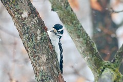 Female Hairy Woodpecker (REGOR NOTPUL) Tags: female hairy woodpecker glenburnie ontario