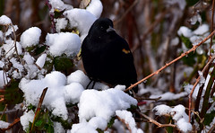 Red-Winged Blackbird (careth@2012) Tags: blackbird redwingedblackbird nature wildlife beak feathers britishcolumbia