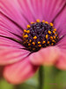 x170522_11_africandaisies (dorothylee) Tags: flowers floral flower botanical garden nature color colour colorful colourful dorothyleephotography photography photo photograph pretty beauty beautiful dorothylee fresh africandaisy africandaisies pink purple