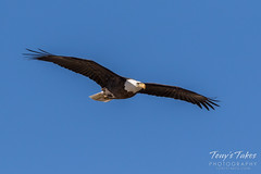 Bald Eagle approach and landing - 5 of 27