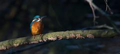 Lonesome bird warming up in the sun (pe_ha45) Tags: eisvogel ijsvogel kingfisher martinpêcheur martinpescatore martinpescador