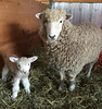 First timer (baalands) Tags: sheep ewe lamb single leicester longwool english