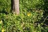 Ψίνθος (Psinthos.Net) Tags: ψίνθοσ psinthos ιανουάριοσ γενάρησ january winter χειμώνασ φύση εξοχή nature countryside afternoon απόγευμα απόγευμαχειμώνα χειμωνιάτικοαπόγευμα λουλούδια άγριαλουλούδια αγριολούλουδα wildflowers yellowflowers κίτριναλουλούδια χόρτα greens pollen γύρη μέλισσα bee treetrunk trunk κορμόσ κορμόσδέντρου field χωράφι οξαλίδεσ οξαλίδα sorrels sorrel ξυνιέσ ξινιέσ ξινάκια ξυνάκια ηλιόλουστημέρα sunnyday