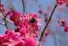 Giant hoverfly (オオハナアブ) on Japanese apricot (梅) blossoms (Greg Peterson in Japan) Tags: flowers urban japan 滋賀県 花 wildlife 野洲市 bugs 植物 shiga yasu plumblossoms plants 昆虫 オオハナアブ 梅 shigaprefecture