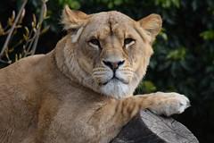 Kianga @ Artis 23-04-2017 (Maxime de Boer) Tags: kianga african lion lioness afrikaanse leeuw leeuwin panthera leo big cats katachtigen natura artis magistra zoo amsterdam animals dieren dierentuin gods creation schepping creator schepper genesis