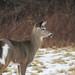 2/52/18 White tailed deer (Hodgey) Tags: deer whitetaileddeer doe winter maine 52weeksfornotdogs