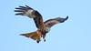 Red Kite - Milvus milvus (jaytee27) Tags: redkite milvusmilvus elanvalley wales naturethroughthelens