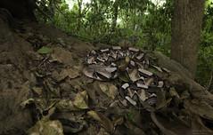 Gaboon Adder -- Bitis gabonica (Nicolauecology) Tags: gaboon adder bitis gabonica central mozambique threatened species wide angle gary kyle nicolau ecology wildlife africa nature herpetology