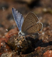 Plains cupid (abhishekskumar) Tags: cupid macro macrophotography macrolife india butterfly butterflylove flickrlove insects fly love puddling puddle kerala