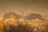 Collision (LawrieBrailey) Tags: red deer rut 2017 fight fighting early morning orange light golden hour wild animal wildlife photo photography lawrie brailey nikon d4 afs nikkor 300mm f28 vr cervine wwwlawriebraileycouk collide male antler