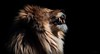 THE KING (babsbaron) Tags: nature tiere animals katzen cats raubkatzen grosskatzen bigcats jäger hunter löwen lions zoo tierpark wingst säugetiere mammals