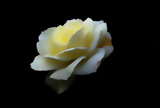 IMGP0099 Rose