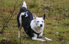 Wanna play? (RUFFlections Photography) Tags: dog dogphotography canoneos eos400d mixedbreed