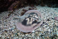 Banded stingaree Urolophus cruciatus #marineexplorer (Marine Explorer) Tags: scuba nature marine underwater australia marineexplorer