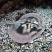 Banded stingaree Urolophus cruciatus #marineexplorer