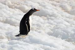 Brown_2017 12 11_2802 (HBarrison) Tags: harveybarrison hbarrison antarctica antarcticpeninsula paradiseharbor brownstation gentoopenguin taxonomy:binomial=pygoscelispapua arctic antarctic arcticantarctic