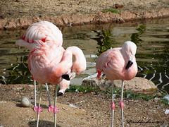 Flamingos (psdenbow) Tags: flamingos california coronado