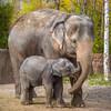 Motherhood (Thomas Hawk) Tags: america forestpark missouri mo mothersday saintlouiszoo stlouis usa unitedstates unitedstatesofamerica baby babyelephant elephant motherhood zoo fav10 fav25 fav50 fav100