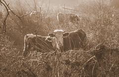 Posing (Inka56) Tags: 7dwf bwandsepia bw sepia cow fence bokeh hmbt