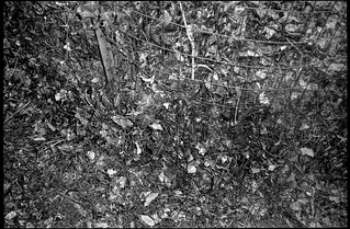 leaf compost bin VII, wire fencing, ivy, West Asheville, NC, Minolta Mac-Dual, Ilford FP4+, early February 2018
