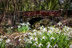 Under the bridge Snowdrops (jayneboo) Tags: snowdrops drifts bridge condover spring leica cl 23mm sunlight water river stream