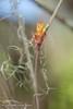 Acanthostachys (Fatima Sandrin) Tags: 2017 botânica jbmb jardimbotânico jardimbotânicomunicipaldebauru científica coleção conservação documentação educaçãoambiental flores fotografia imagem lazer pesquisa plantas preservação vegetal vegetação ©2017fátimasandrin árvores