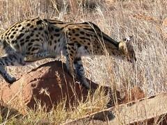 serval, Nambiti Reserve