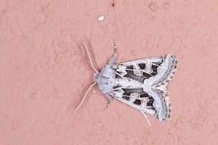 Noctuidae, Episema grueneri
