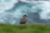 Bonxie (pstani) Tags: europe greatbritain hermaness scotland shetland stercorariusskua unst bird bonxie fauna greatskua skua