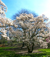 Flowering Spring Tree (Stanley Zimny (Thank You for 30 Million views)) Tags: spring tree seasons bronx botanical garden flower