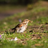 How would you like your worms in the morning? (smir_001) Tags: winter february garden park canoneos7d bird birds nature british britishbirds fauna wildlife outdoor botanical victoria bath victoriapark somerset parks gardens turdusiliacus redwing thrushes thrush behaviour feeding