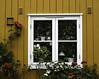 Frodig (ruthliwoll) Tags: blomster flowers grønt green plants window vindu gult yellow roser roses nicewindow