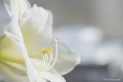 Painted in white... (Maria Godfrida) Tags: weeklythemechallenge white flora flowers nature closeup macro amaryllis highkey weeklythemes sidelit
