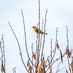 Verdier. (musette thierry) Tags: musette thierrry verdier oiseau bird nikon d800 28300mm hiver winter march mars