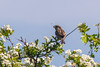 House Sparrow on Blossom (SLHPhotography1990) Tags: nikon walks yarmouth soph birds wild wildlife native british house sparrow blossom bush blue sky