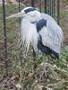 Wilhelma (www.die-letzte-crew.de) Tags: 180114 wilhelma zoo zoologischergarten stuttgart graureiher reiher botanischergarten