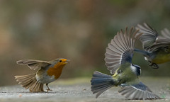 aggressive Robin (hardy-gjK) Tags: birds vögel oiseaux robin rotkehlchen tit meisen fight flucht escape hardy nikon d7100 nature wildlife animals tiere