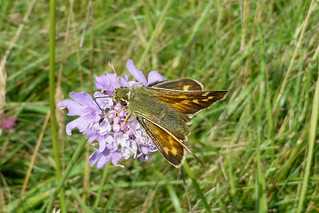Silver-spotted Skipper, Hampshire, England