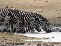 Zebra - Kruger National Park (Pixi2011) Tags: zebra krugernationalpark wildlife nature africa