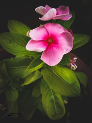 imageedit_1_8658180858 (SpaceCa7) Tags: flower greece nature landscape green pink earth photography natural