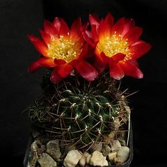 Sulcorebutia christiei KP141 '504' (Pequenos Electrodomésticos) Tags: cactus cacto flower flor sulcorebutia sulcorebutiachristieikp141