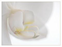 Pâle (sosivov) Tags: macro orchid flower highkey white winter whitebackground frame
