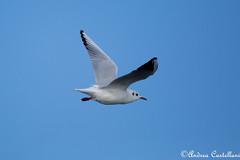 Il volo Gabbiano Comune (Castello foto) Tags: gabbiano comune rimini mare inverno volo uccelli bird acquatico uccello marini