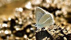 Polyommatus (Agrodiaetus) theresiae ♂ (KOMSIS) Tags: kelebek butterfly schmetterlinge papillon farfalla borboleta mariposa πεταλούδα 나비 فراشة バタフライ пеперутка פרפר ქელებეკი پروانه лептир तितली թիթեռ လိပ်ပြာ প্রজাপতি bábochka бабочка conbướm dagfjärilar féileacán fiðrildi fjärilar fjäril чешуекрылые flutur fluture kəpənək көбелек kupukupu leptir liblikas liblikalised metulj motyl motýl motýľ motýlů motýlech papallona päiväperhonen perhonen päiperlek pillangó vlinder arthropoda lepidoptera lycaenidae polyommatus polyommatusagrodiaetustheresiae saimbeyliblue çokgözlüteresyasaimbeylimavisi nikond810 nikkor105mmvr buzznbugz ngc outdoor serene wildlife macrophotography insect macro