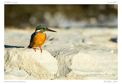 Martin pêcheur | Alcedo atthis | Common Kingfisher (BerColly) Tags: france auvergne puydedome oiseau bird martinpêcheur alcedoatthis commonkingfisher allier riviere river bercolly google flickr