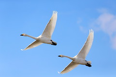 Swan (Teruhide Tomori) Tags: swan nature wild winter 鳥 冬 sky aquaticbird japan lakebiwa shiga bird ハクチョウ 空 日本 滋賀県 長浜 湖北 野生動物 kohoku